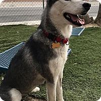 Adopt A Pet :: Anna Belle - Las Vegas, NV