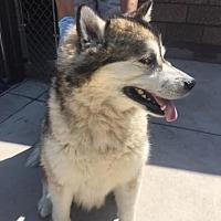 Adopt A Pet :: Nikita - Denver, CO