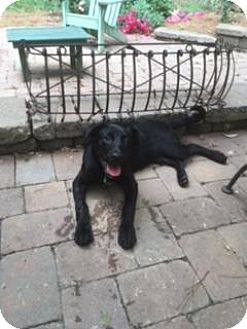 Labrador Retriever Mix Puppy for adoption in Monroe, North Carolina - Kristen