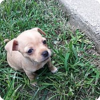 Adopt A Pet :: Kelso - Lawrenceville, GA