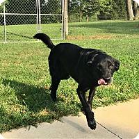 Labrador Retriever Dog for adoption in Mentor, Ohio - TARA**SWEET SENIOR GAL!!