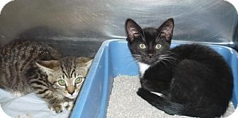 Domestic Shorthair Kitten for adoption in Mineral, Virginia - Bitsy & Betsy