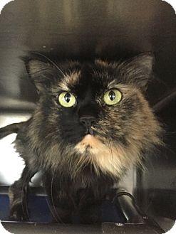 Domestic Longhair Cat for adoption in Jackson, Michigan - Iris