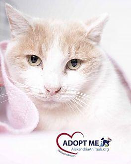 Domestic Shorthair Cat for adoption in Alexandria, Virginia - Tofu