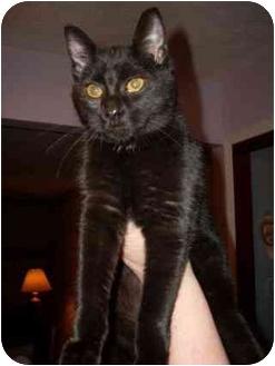Domestic Shorthair Kitten for adoption in Brighton, Michigan - Tiki