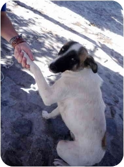 Fox Terrier (Smooth) Mix Dog for adoption in Albuquerque, New Mexico - Bunny