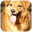 Photo 1 - Golden Retriever/Spaniel (Unknown Type) Mix Dog for adoption in New Fairfield, Connecticut - Momo