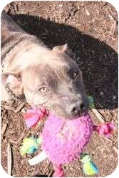 American Staffordshire Terrier Mix Dog for adoption in Islip, New York - Autumn