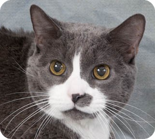 Domestic Shorthair Cat for adoption in Chicago, Illinois - King Tuna