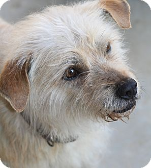 Cairn Terrier Mix Dog for adoption in Wytheville, Virginia - Fraggle Rock