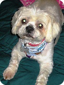 Maltese/Lhasa Apso Mix Dog for adoption in Encino, California - HOGAN