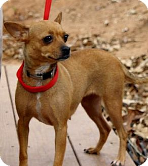 Chihuahua Mix Dog for adoption in maryville, Tennessee - Chloe