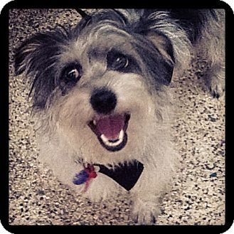 Yorkie, Yorkshire Terrier/Schnauzer (Standard) Mix Dog for adoption in Thousand Oaks, California - Ruby