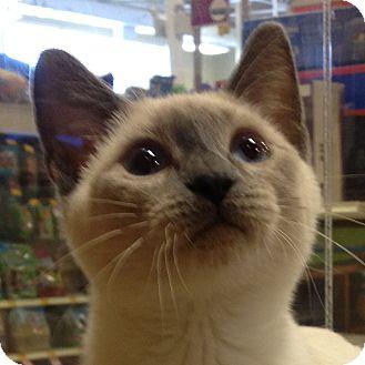 Siamese Kitten for adoption in Weatherford, Texas - Solomon