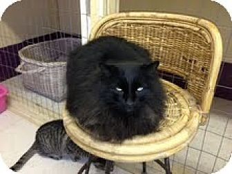 Himalayan Cat for adoption in Grand Junction, Colorado - Prestley
