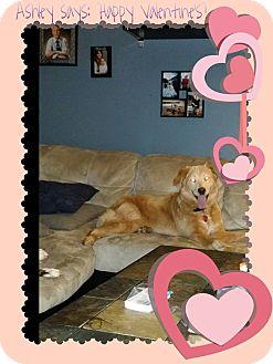 Shepherd (Unknown Type)/Retriever (Unknown Type) Mix Dog for adoption in Chilliwack, British Columbia - ASHLEY