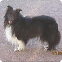 Adopt A Pet :: Cosmo - apache junction, AZ