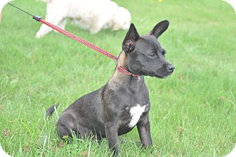 Chihuahua Mix Puppy for adoption in Tumwater, Washington - Miles
