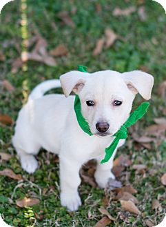 Labrador Retriever/Dachshund Mix Puppy for adoption in Glastonbury, Connecticut - Davey