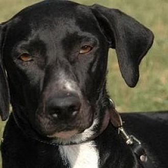 Labrador Retriever/English Pointer Mix Dog for adoption in McKinney, Texas - Cleo