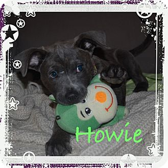 Great Dane/Labrador Retriever Mix Puppy for adoption in Brattleboro, Vermont - HOWIE
