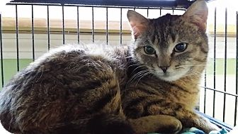 Domestic Shorthair Cat for adoption in Saint Albans, Vermont - Mini
