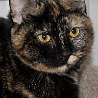Domestic Shorthair Cat for adoption in Savannah, Missouri - Ginger