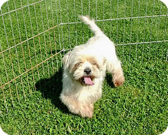 Shih Tzu Dog for adoption in Liberty Center, Ohio - Olivia