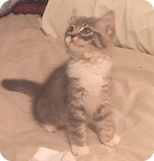 Domestic Mediumhair Kitten for adoption in Port Charlotte, Florida - Heather