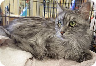 Maine Coon Cat for adoption in Quail Valley, California - Bella