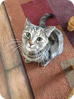 Domestic Shorthair Cat for adoption in Hopkinsville, Kentucky - Daisy