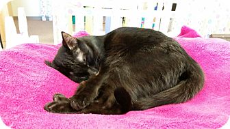 Domestic Shorthair Cat for adoption in Maryville, Tennessee - Sebastian