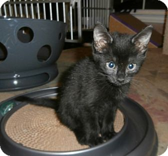 Domestic Shorthair Kitten for adoption in Fort Worth, Texas - Celeste