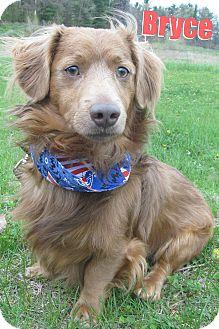 Dachshund Mix Dog for adoption in Menomonie, Wisconsin - Bryce