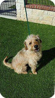 Terrier (Unknown Type, Medium) Mix Dog for adoption in San Antonio, Texas - Sandy