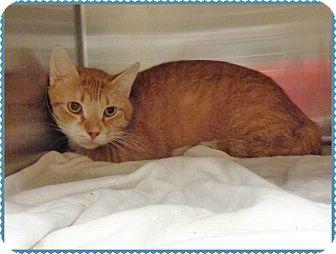 Domestic Shorthair Cat for adoption in Marietta, Georgia - TIGGER
