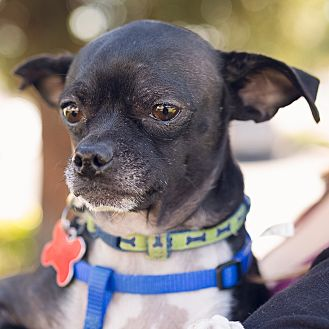 Chihuahua Mix Dog for adoption in Oakley, California - Bruno