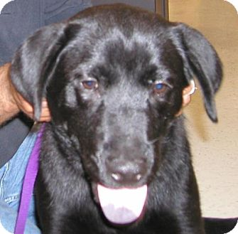 Labrador Retriever Mix Dog for adoption in Lafayette, Louisiana - Prejean puppies