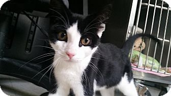 Domestic Shorthair Kitten for adoption in Union, New Jersey - Clue