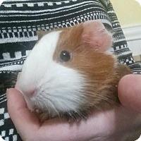 Adopt A Pet :: Kuma - Marlton, NJ