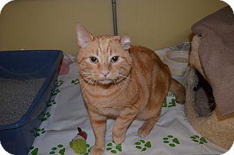 Domestic Shorthair Cat for adoption in Toast, North Carolina - Bud