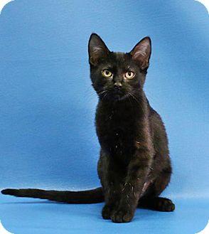 Domestic Shorthair Kitten for adoption in Overland Park, Kansas - Asher