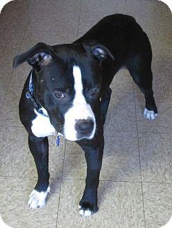 Staffordshire Bull Terrier Mix Dog for adoption in Glenwood, Minnesota - Cubbie