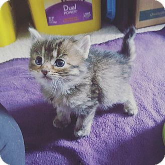 Domestic Longhair Kitten for adoption in Lexington, Kentucky - Daisy