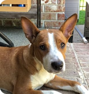 Basenji/Shepherd (Unknown Type) Mix Puppy for adoption in Glastonbury, Connecticut - J.P. Morgan