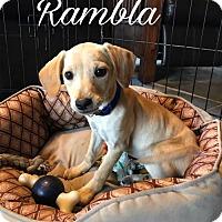 Adopt A Pet :: Rambla - Westminster, CO