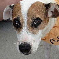Jack Russell Terrier Mix Dog for adoption in San Diego, California - Bonnie