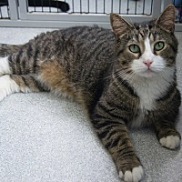 Adopt A Pet :: Mossimo - New Milford, CT