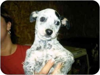 Australian Cattle Dog/Australian Cattle Dog Mix Dog for adoption in Charleston, South Carolina - Pocahontas
