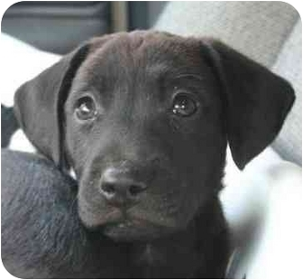 Labrador Retriever Puppy for adoption in San Diego, California - PUPPY JADE